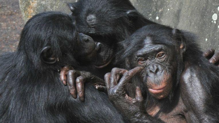 Vrouwelijke bonobo's versterken de onderlinge banden Beeld anp