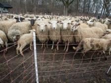 Dode schapen Staphorst vrijwel zeker prooi van wolf