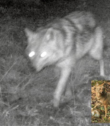 Niet wolf, maar goudjakhals beet schapen in Ooijpolder dood