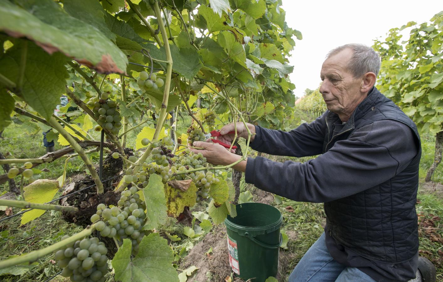 Wijnboer Jan Zieverink bezig met het oogsten van druiven.