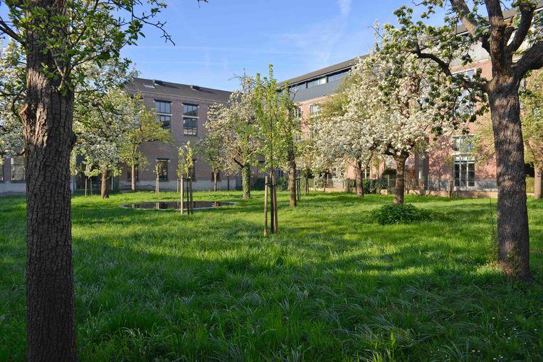 De jonge bomen werden in het Lousbergspark tussen de oude geplant. De jonge stammen zullen geënt worden om zo een nieuwe kruin van de oude rassen te ontwikkelen