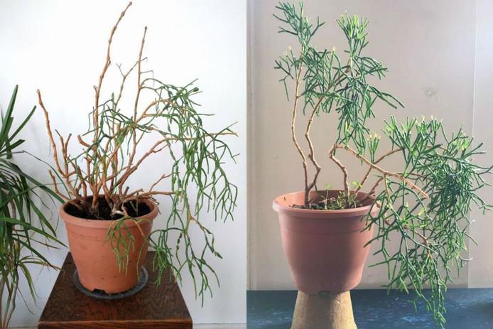 Hatiora salicornioides (ook wel koraalcactus).
