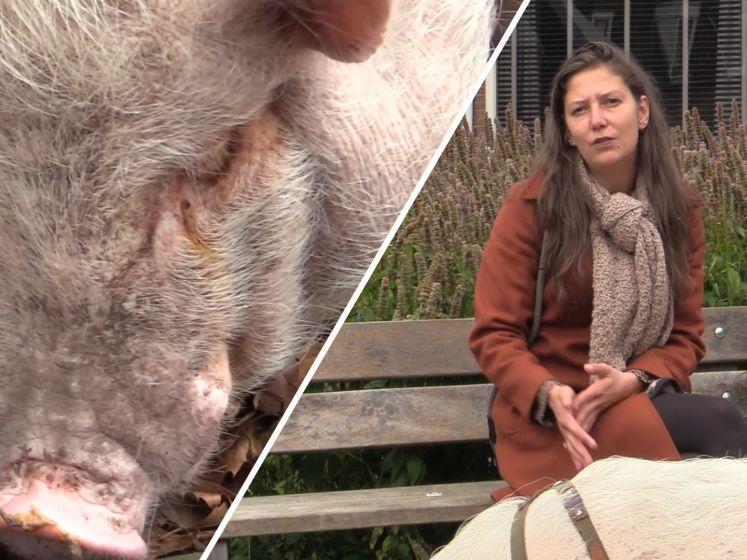 Kim heeft een varken van 85 kilo als huisdier: 'Francis is onderdeel van ons gezin'