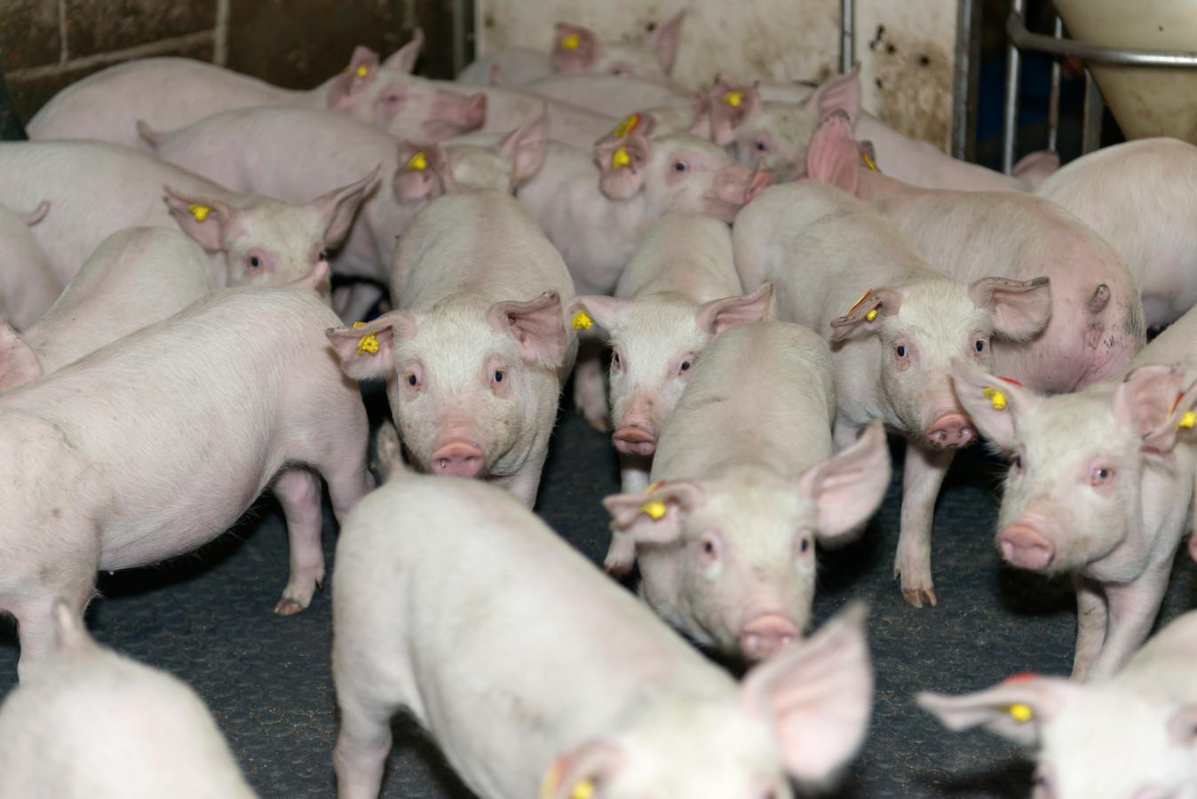 Biggen op een varkenshouderij in Zuidoost-Brabant. Beeld ter illustratie.
