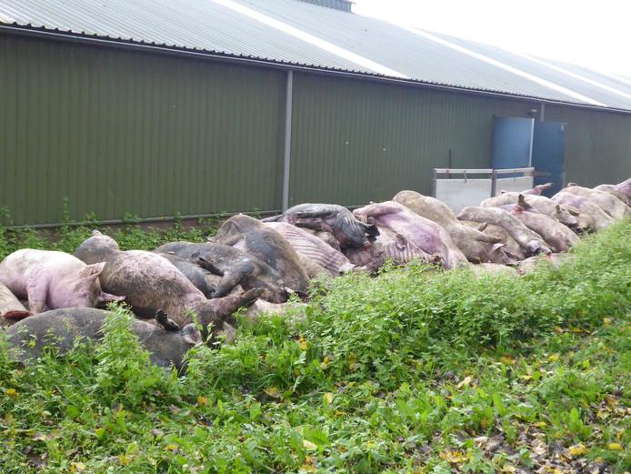 Vorig jaar oktober stikten in Heeswijk-Dinther tientallen varkens door een defect ventilatiesysteem. De Nederlandse Voedsel- en Warenautoriteit is een onderzoek gestart naar de verstikkingsdood van zo'n 1.200 varkens in Haaren.