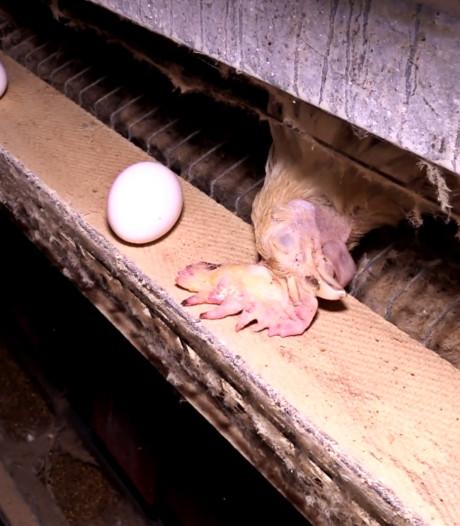 Ook vakbond pluimveehouders schrikt van beelden Animal Rights in schuur Tollebeek