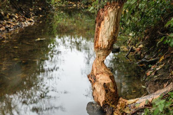 De bever liet duidelijke sporen na in natuurgebied Honegem in Erpe.