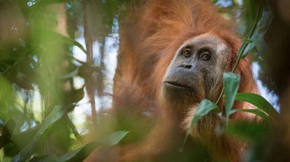 Hoe onze Nutella de apen bedreigt: palmolie-industrie wil verder uitbreiden in Afrika, maar wetenschappers waarschuwen voor negatieve gevolgen