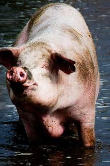 Komst 16.000 varkens: het is niet te geloven