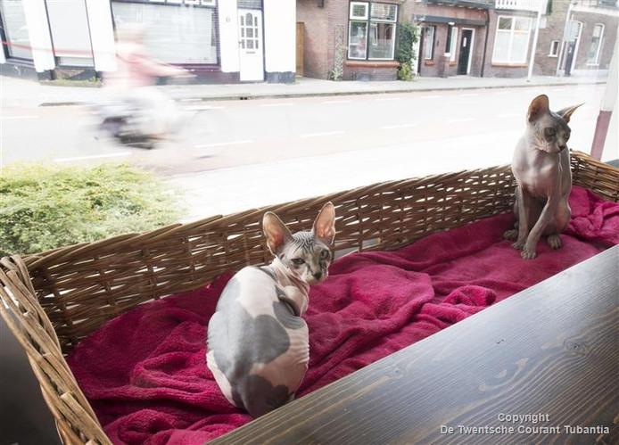 Een naaktkat in het Hengelose kattencafé Katdeau aan de Anninksweg. Volgens een ruwe schatting lopen er tussen de 12.000 en 15.000 katten rond in Hengelo.