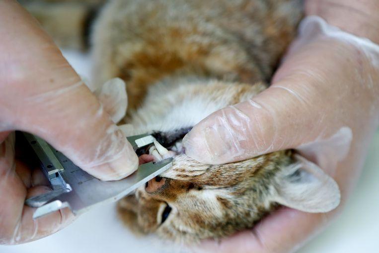 De tanden van de verdoofde voskat worden gemeten.