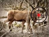 Staatsbosbeheer: afschieten herten in Oostvaardersplassen begint volgende week