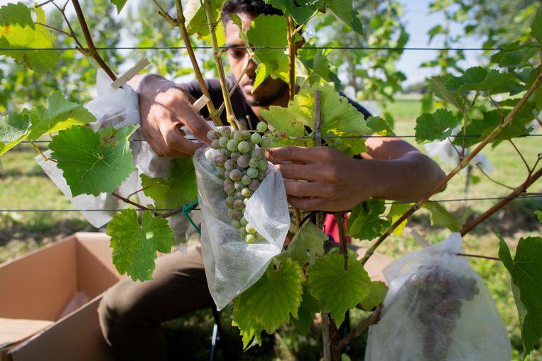 Een Franse vrijwilliger in de gaard van duurzame wijnboer Johan Rippen verpakt druiventrossen in beschermende zakjes.  Beeld Herman Engbers