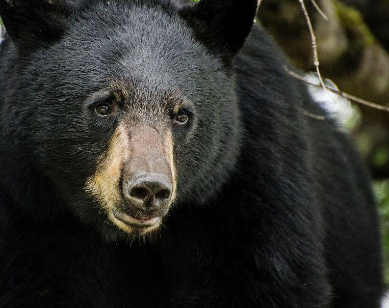 Een zwarte beer (Illustratiebeeld).