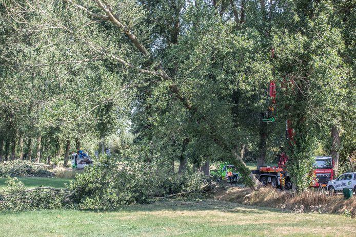 Aannemer Van Reel zaagt een populier om. Met een flinke klap eindigt de boom op de grond.