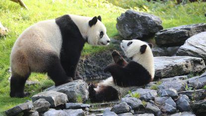 Pairi Daiza bekroond tot beste dierenpark van Europa, Walibi is beste pretpark van België