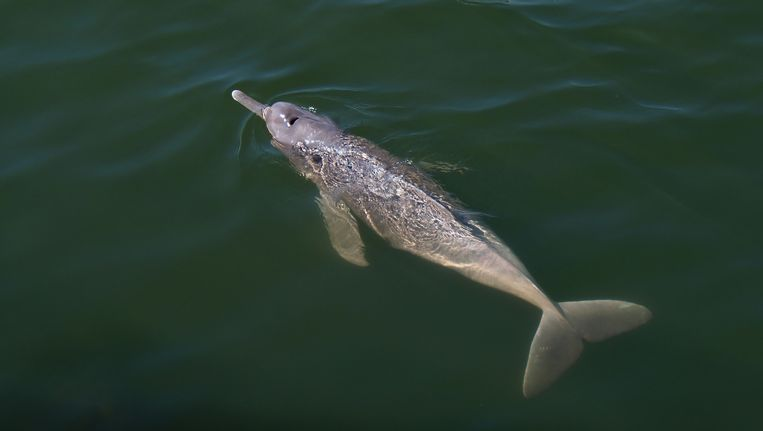 De roze rivierdolfijn die de onderzoekers van het WNF hebben ontdekt.