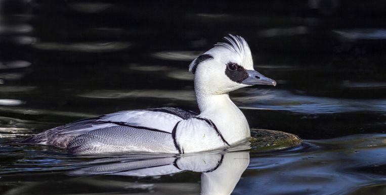 Nonnetje (Mergellus abellus), een gracieuze eend met fraaie zwart-wittekening, die niet in Nederland broedt maar als wintergast vooral in het Markeermeer op visjes als de spiering jaagt. Beeld Elena Duvernay