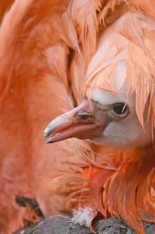 Schattig! Pasgeboren flamingo laat zich zien in Avifauna