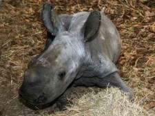 De baby weegt 40 kilo en heet Ravy: Beekse Bergen verwelkomt bijzondere witte babyneushoorn
