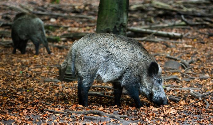 Wilde zwijnen zorgen voor veel overlast in het gebied tussen Someren-Heide en Maarheeze.