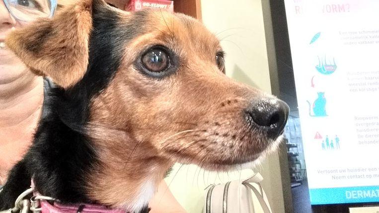 Het hondje Missy wordt opgevangen bij Dierenplezier Zennevallei maar heeft een operatie nodig om opnieuw goed te kunnen stappen.