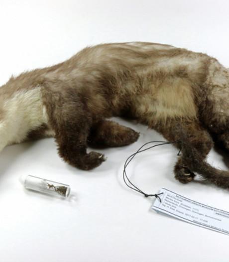 Geëlektrocuteerde steenmarter te zien in Natuurhistorisch Museum