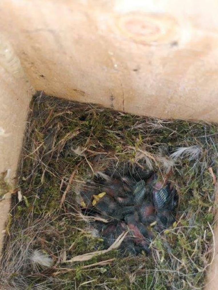 In de nestkastjes werden 436 pimpel- en koolmeesjes geboren.