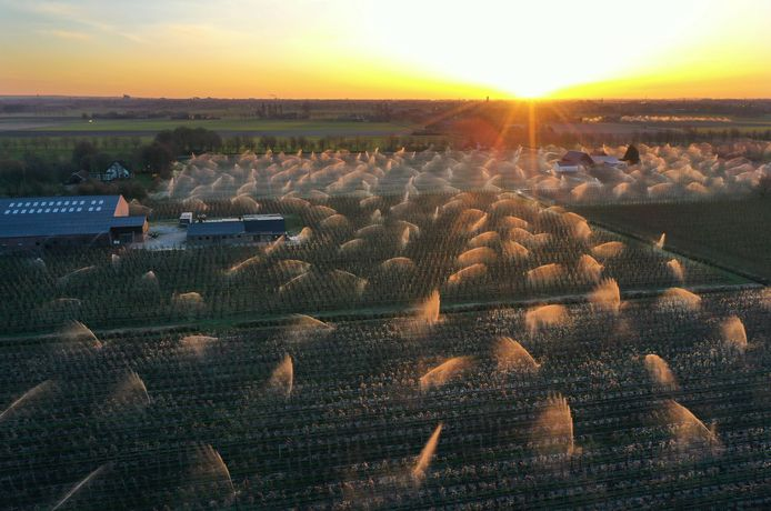 Het beregenen van het fruit bij zonsopkomst in de Overbetuwe. Foto: VidiPhoto.