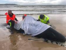 380 dauphins-pilotes coincés dans une baie en Tasmanie sont morts