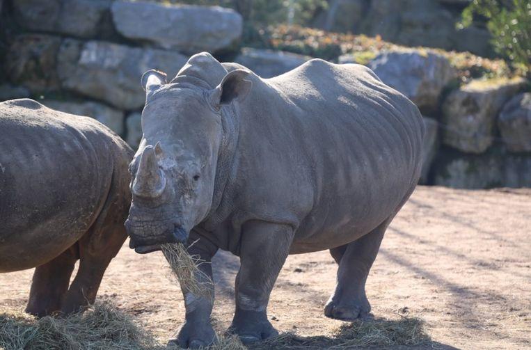 nu ook tweede witte neushoorn van pairi daiza zwanger | dieren