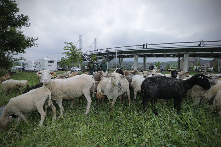 Twee herders drijven de 150 schapen langs de hellingen.