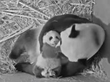 Nieuwe beelden uit Rhenen: Babypanda Fan Xing kan nog niet lopen, maar wél rollen