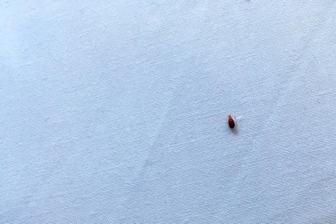 Rousses et oblongues, entre 5 et 7 millimètres en moyenne, les punaises de lit ne sont généralement repérées qu'après les piqûres et démangeaisons