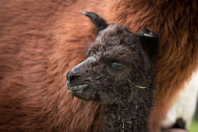 Alpaca Ellen is geboren op alpacahouderij Bellatorem in Almkerk