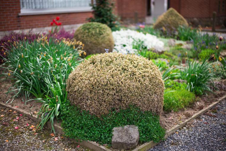 Een getroffen buxushaag, de omliggende vegetatie blijft ongemoeid.