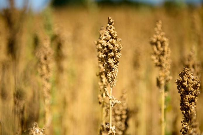 BLADEL - Het oogstseizoen voor Nederlandse Quinoa is begonnen