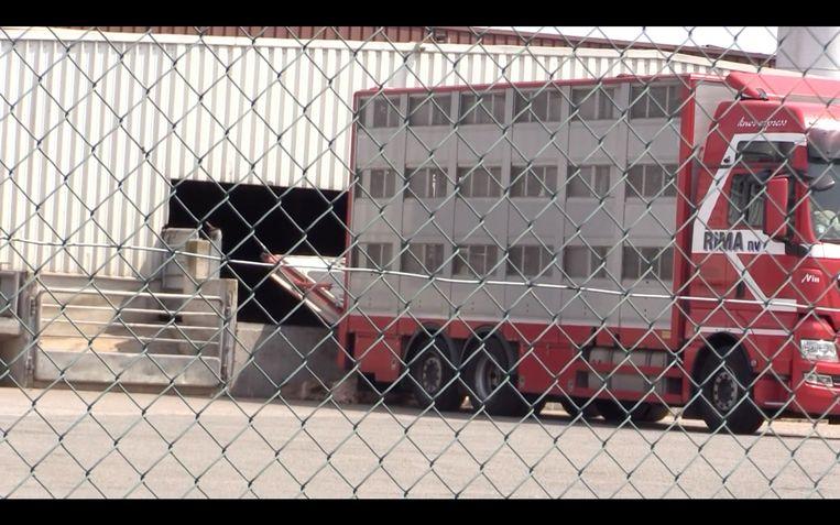 Animal Rights filmde onlangs hoe in de middag, op een hete dag, nog vrachtwagens werden gelost bij Porc Meat in Zele.