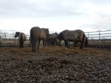 Actievoerders volgen konikpaarden van Oostvaardersplassen naar nieuw leefgebied