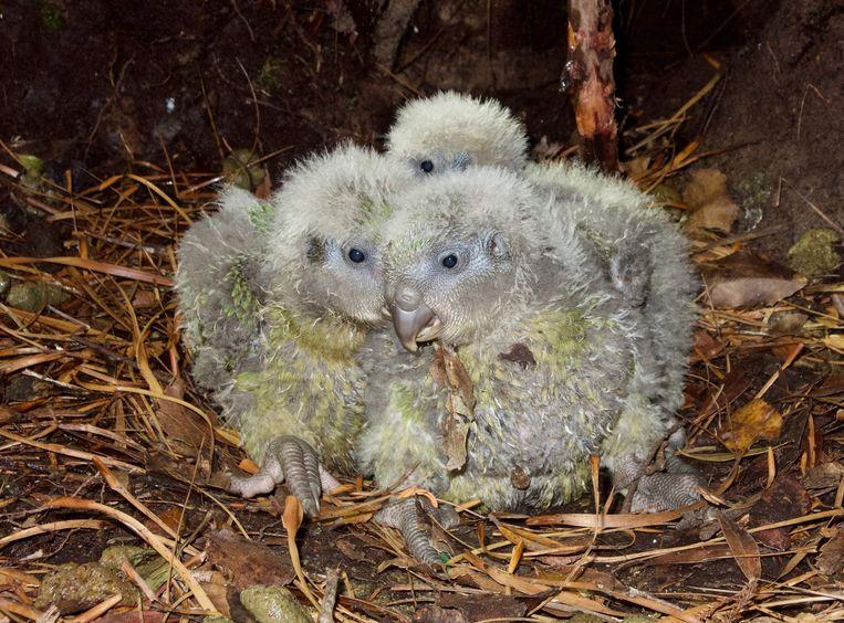 In 2018 werden er 76 kakapootjes geboren: een record.