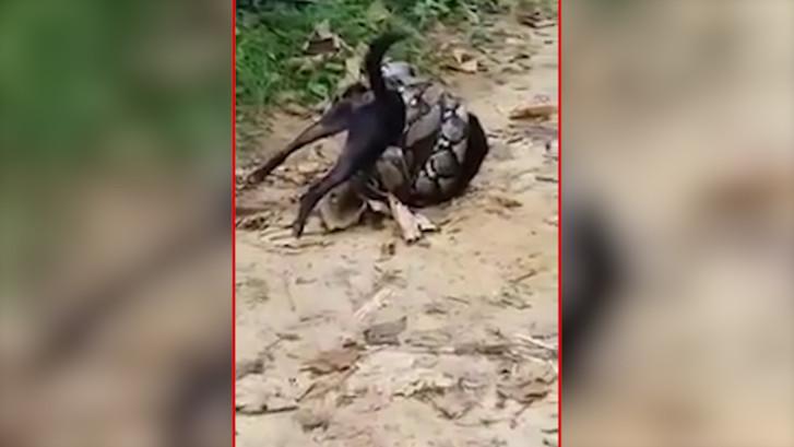 Hond op het nippertje gered van gigantische python