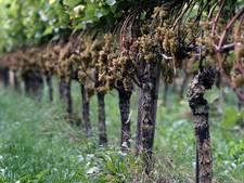 Open Wijndagen Schijndelse wijnboerderij Winery & Herbs