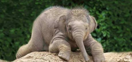 Babynieuws: DierenPark Amersfoort in blijde verwachting van jong olifantje
