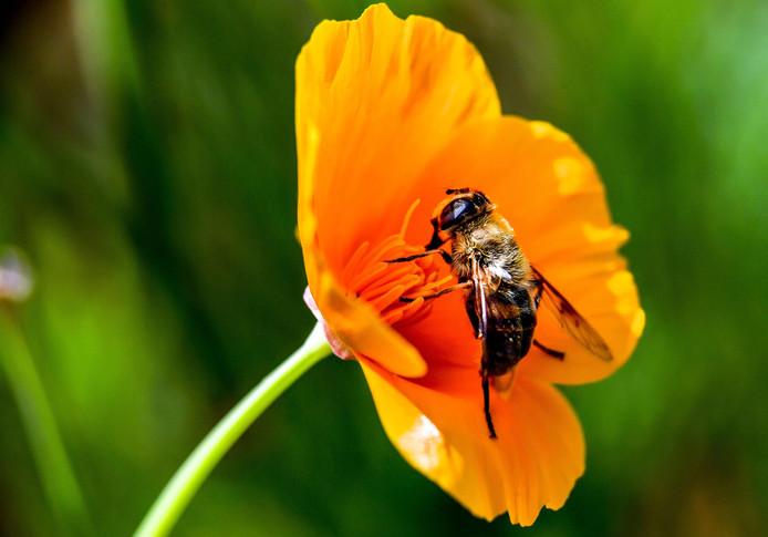 Bijen leveren een belangrijke bijdrage aan de bestuiving van land- en tuinbouwgewassen.