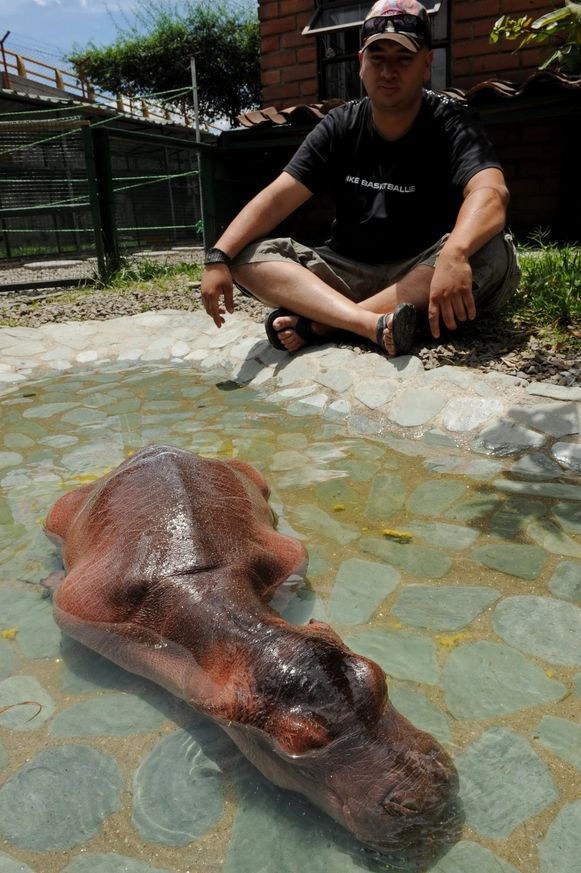 Een van de nijlpaarden die geboren werden in Hacienda Nápoles.