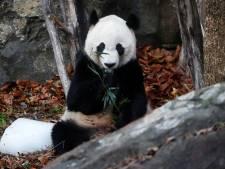 Bei Bei, le panda préféré des Américains, a quitté Washington pour la Chine