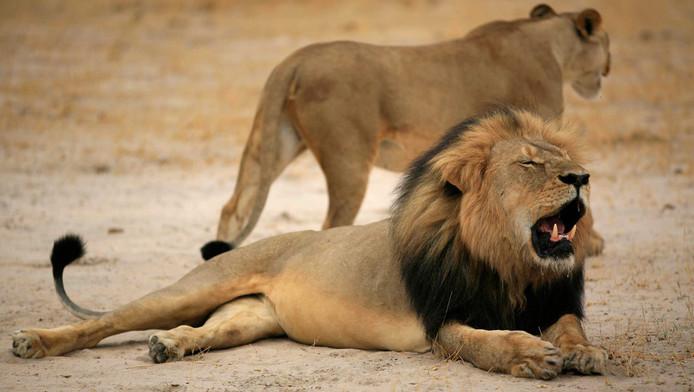 De 13-jarige leeuw Cecil.
