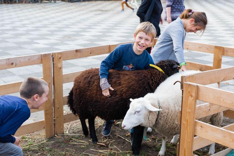 De schapen van de mobiele boerderij vertonen een hoog aaibaarheidsgehalte.
