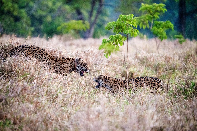 Jaguars van dichtbij in het Refúgio Ecológico Caiman.