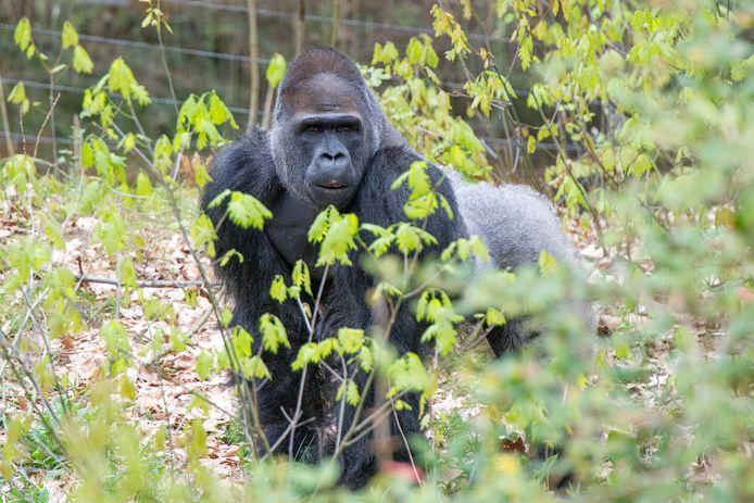 Loopt ook gorillabaas Bao Bao gevaar door corona? Apenheul neemt geen enkel risico.